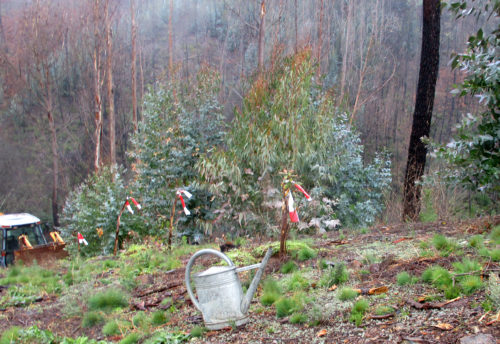 Eichen ausgegraben und gepflanzt, Brandschutz, Goladinha