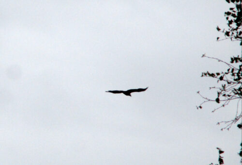 Finnland 6 - Adler, Goladinha
