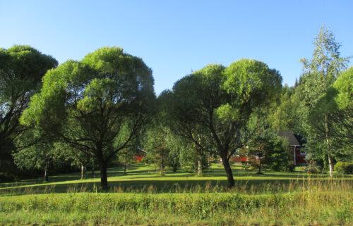 Finnland 6 - Bäume, kugelkrone,Goladinha