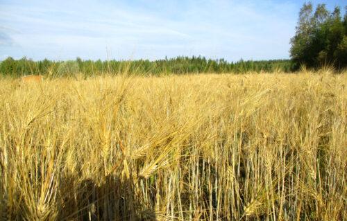 Finnland 6 - Getreide steht noch,Goladinha