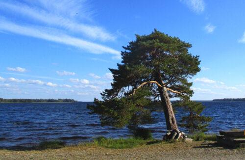 Finnland 8 - Campingplatz2, krummer Baum am See, goldener Strand, Leirintäalue Kultahiekat, Insel Manamansalo, Goladinha