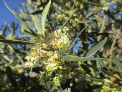 Oliven, Blüte, zahllos, Goladinha