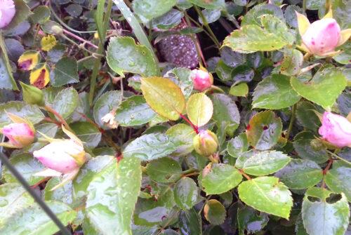 nasse kalte Zeit, Mitte Mai, Rosen blühen spät, Goladinha
