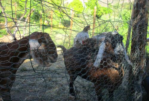 Ziegen, Hühner, Vale Pousada, Goladinha