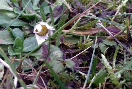 Winter, Blüte, Gänseblümchen, Lenting, Berfürst, Goladinha