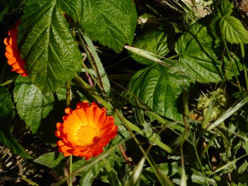 Blüten, Blueten im Mai, Goladinha,