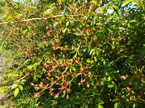 Wildrose, Buschrose, Unmengen von Knospen, Casa Ar, Goladinha
